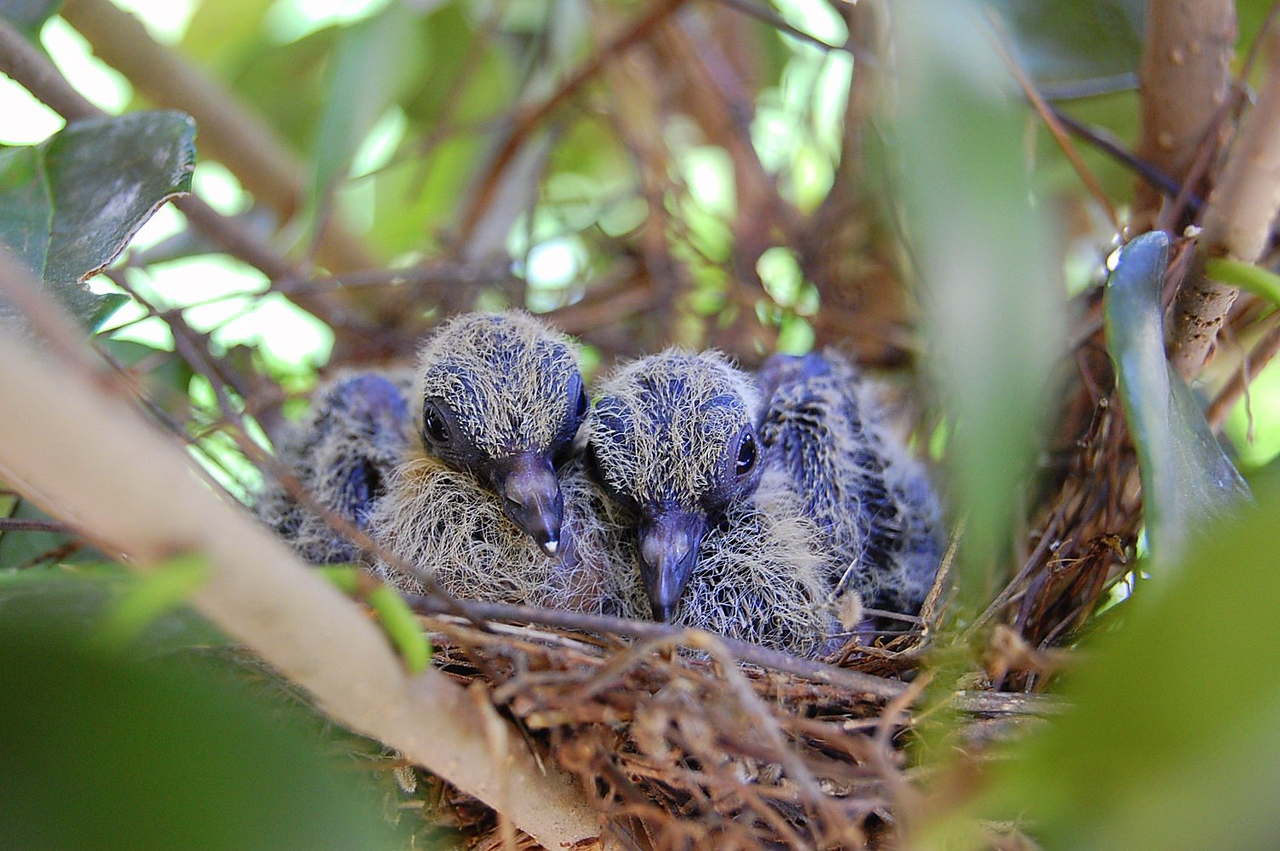 Baby doves in the nest near our front door.