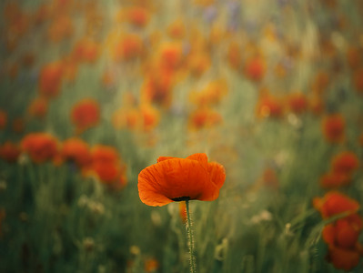 Poppies 7R49647