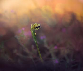 Ophrys Bilunulata 7R42615