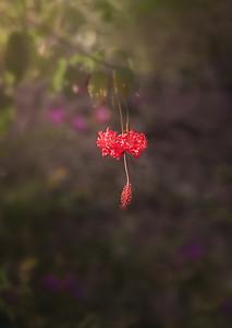Hibiscus Schizopetalus A730078