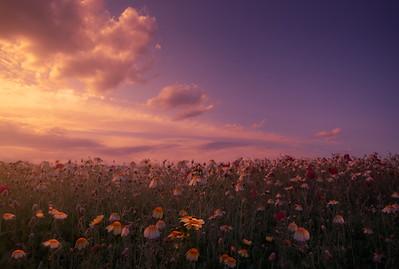Sunset among daisies 7R49755