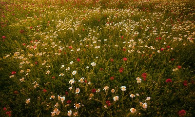 Daisies and poppies 7R49746