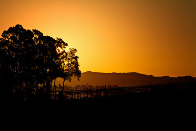 Vineyards in Napa Valley - Sunrise