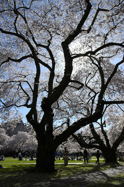 Cherry tree, University of Washington quad