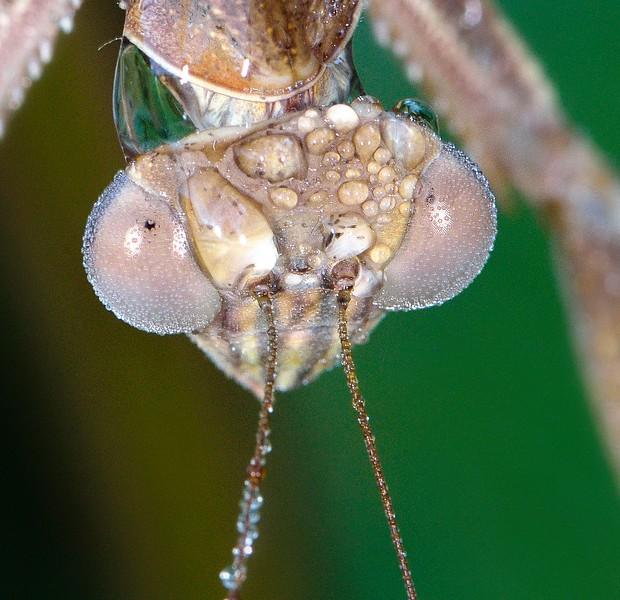 Mantis Eyes