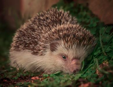 Hedgehog Ground 7R45426