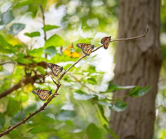 Butterflies 9/13/19