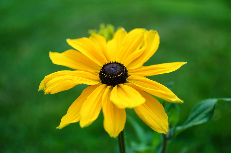 Black-eyed Susan (Boulder, CO)