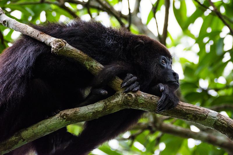Howler Monkey (Bermuda Landing, Belize)