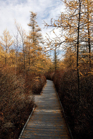 Kent Bog Boardwalk & Tamarack Trees