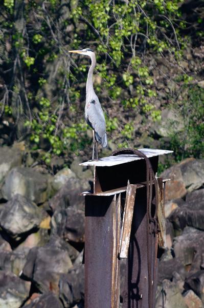 Blue Heron - Cleveland Lakefront Nature Preserve