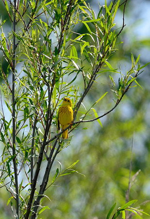 Yellow Warbler - Cleveland Lakefront Nature Preserve