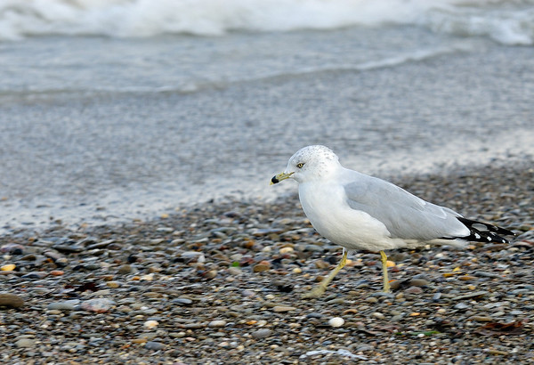 Ring-billed Gull - Headlands Dunes