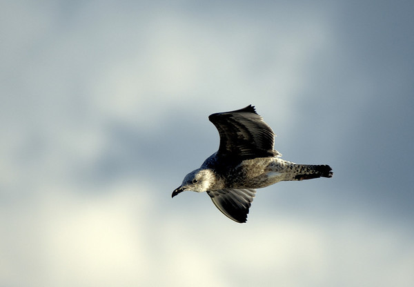 Gull over Lake Erie