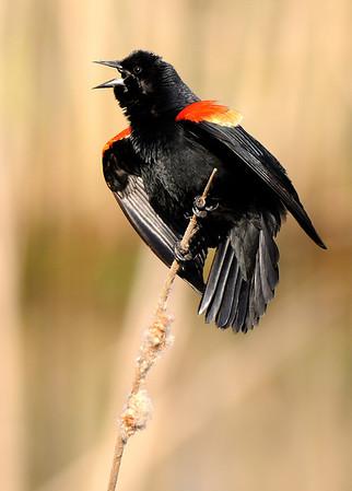 Red-Winged Blackbird - Sheldon Marsh
