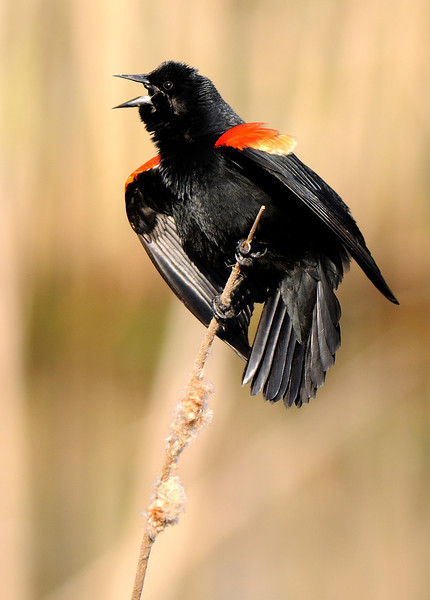 Red-Winged Blackbird - Sheldon Marsh