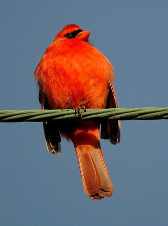 Cardinal - Sheldon Marsh
