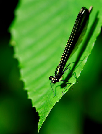 Dragonfly and his shadow.  - Eagle Creek Nature Preserve