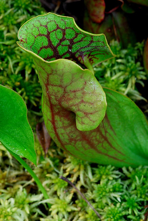 Pitcher Plant - Triangle Lake Bog