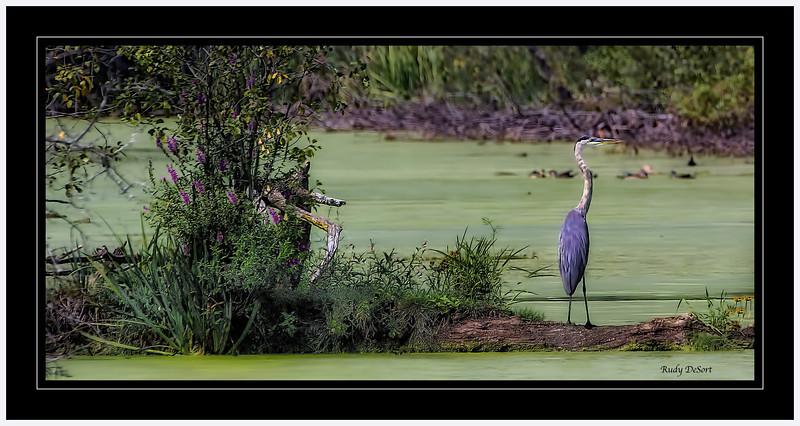 Great Blue Heron  @  Crabtree Nature Center  (400mm) Rudy DeSort, Rudy DeSort Photography, Lake Zurich Photographer, Barrington Photographer, Kildeer photographer,