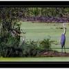 Great Blue Heron  @  Crabtree Nature Center  (400mm) Rudy DeSort, Rudy DeSort Photography, Lake Zurich Photographer, Barrington Photographer, Kildeer photographer,