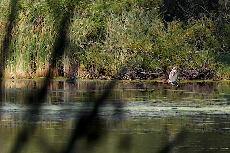 Mallard Duck @ Crabtree Nature Center    (178mm) Rudy DeSort, Rudy DeSort Photography, Lake Zurich Photographer, Barrington Photographer, Kildeer photographer,