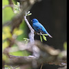 Indigo Bunting  @ Kildeer, IL   (200mm) Rudy DeSort, Rudy DeSort Photography, Lake Zurich Photographer, Barrington Photographer, Kildeer photographer,
