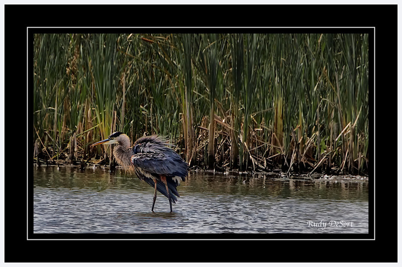 Great Blue Heron  @ Crabtree Nature Center,  (400mm) Rudy DeSort, Rudy DeSort Photography, Lake Zurich Photographer, Barrington Photographer, Kildeer photographer,