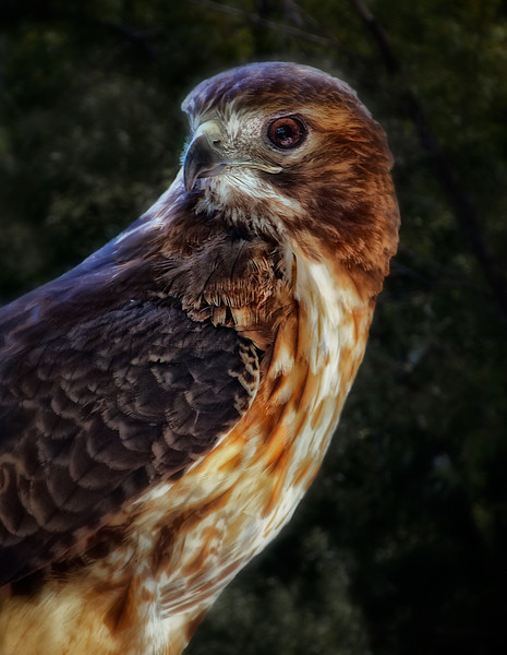 Red Tail Hawk  @ Crabtree Nature Center  (400mm) Rudy DeSort, Rudy DeSort Photography, Lake Zurich Photographer, Barrington Photographer, Kildeer photographer,