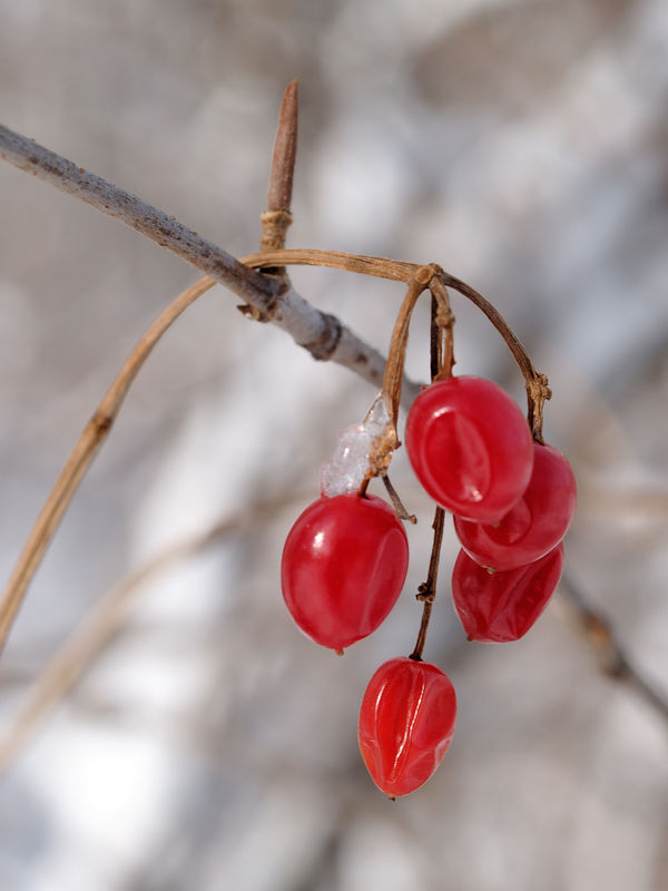 Red berries from a Deadly Nightshade (Solanum dulcamara) vine just hanging on after the first winter snow.