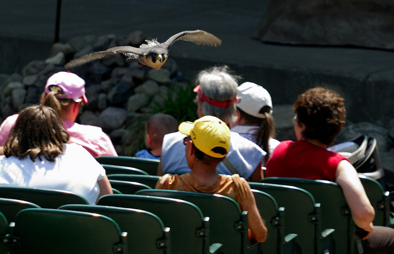 Peregrine Falcon flying over the crowd at the Dr. Zoolittle Show - Cleveland Metroparks Zoo