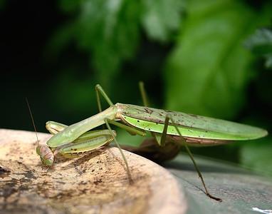 Praying Mantis getting a drink.