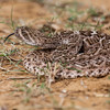 Rattlesnake in desert area near Laredo, Texas.