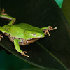 Giant Waxy Monkey Frog, Phyllomedusa bicolor, at Houston Zoo, a leaf frog from South America