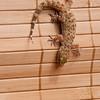 Mediterranean Gecko, Hemidactylus turcicus, at Gary Carter's in Mcleansville, NC.