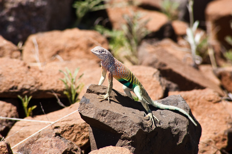 Greater Earless Lizard, Cophosaurus texanus, in Big Bend Ranch State Park in Texas. All earless lizards are diurnal, basking lizards. In the early morning they forage for insects, and then spend several hours basking in the sun, until it becomes too hot, around 104 °F at the surface, when they retreat to a burrow or rock crevice. They are oviparous.