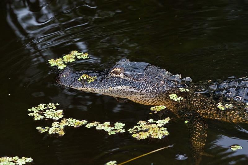 Alligator in Bayou near Orange, Texas.