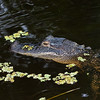 Alligator in Bayou near Orange, Texas.