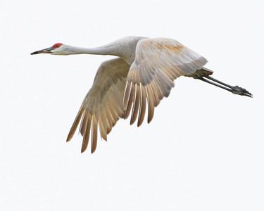 Sandhill Cranes 11/07