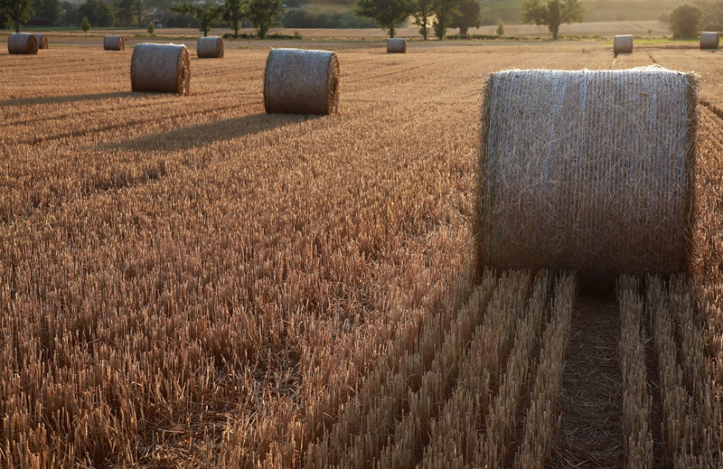Late afternoon golden colors on summer day in field with bales of harvested straw, wheat and haystacks in circle shape