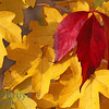 Change of season in Geneva Switzerland with yellow and red autumn leaves