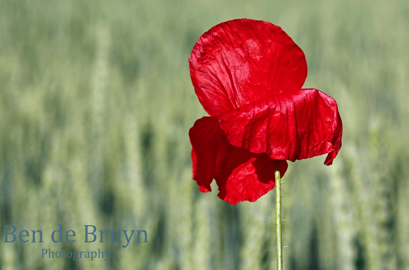 Abstract Red Poppy Flower no 11