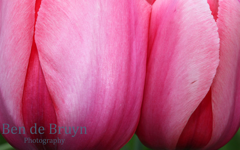 Two pink tulips in field with soft petals which are closed up during early Spring