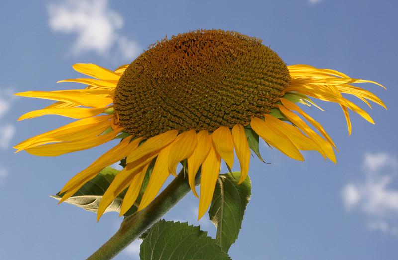 Sunflower in bright sunshine
