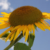 Sunflower in bright sunshine