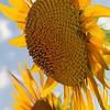 Sunflowers in bright sunshine