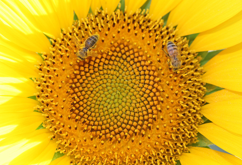 Sunflower in bright sunshine with bees