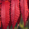 Autumn leaves in bright red color and in interesting pattern
