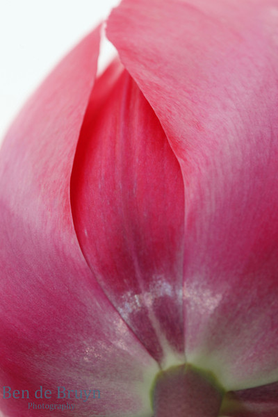 Pink tulip in field with soft petals which are closed up during early Spring
