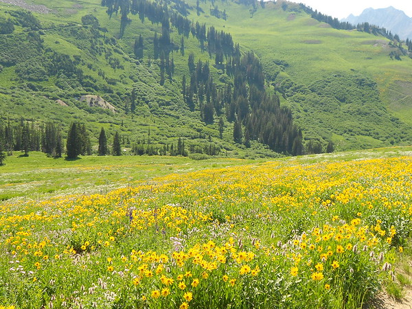 Spring Flowers in Albion Basin